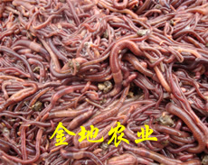 蚯蚓养殖产品图片