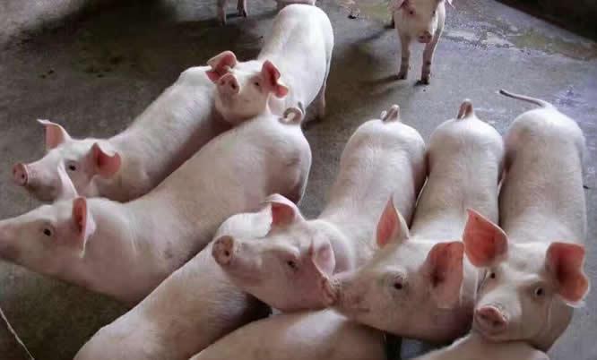 多地生猪价格