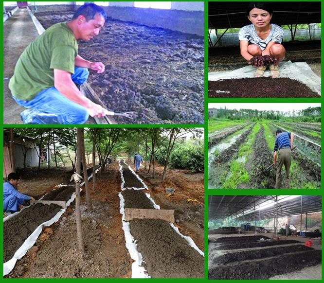 蚯蚓养殖牛粪发酵图片