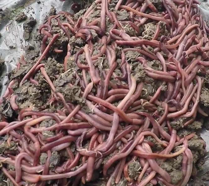 增润蚯蚓种