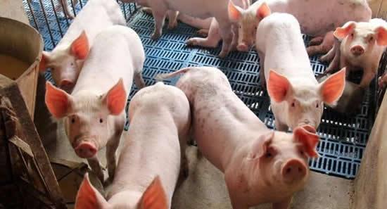 今年养猪好赚钱,进口猪肉增长
