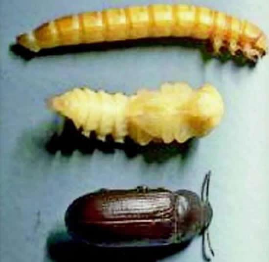 高蛋白营养饲料黄粉虫,怎样养殖的,要什么设备二