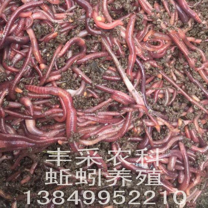 蚯蚓种高温季度