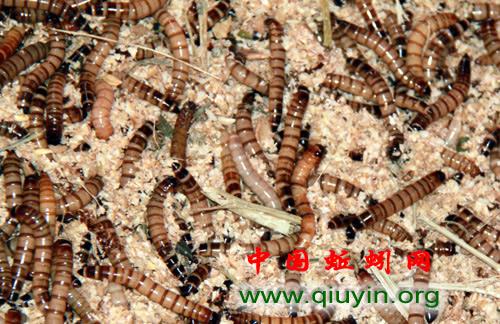 活铒饲料大麦虫的养殖
