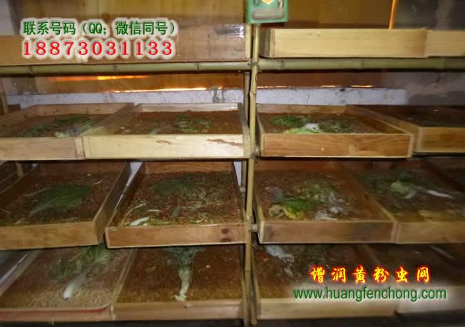 黄粉虫的养殖条件